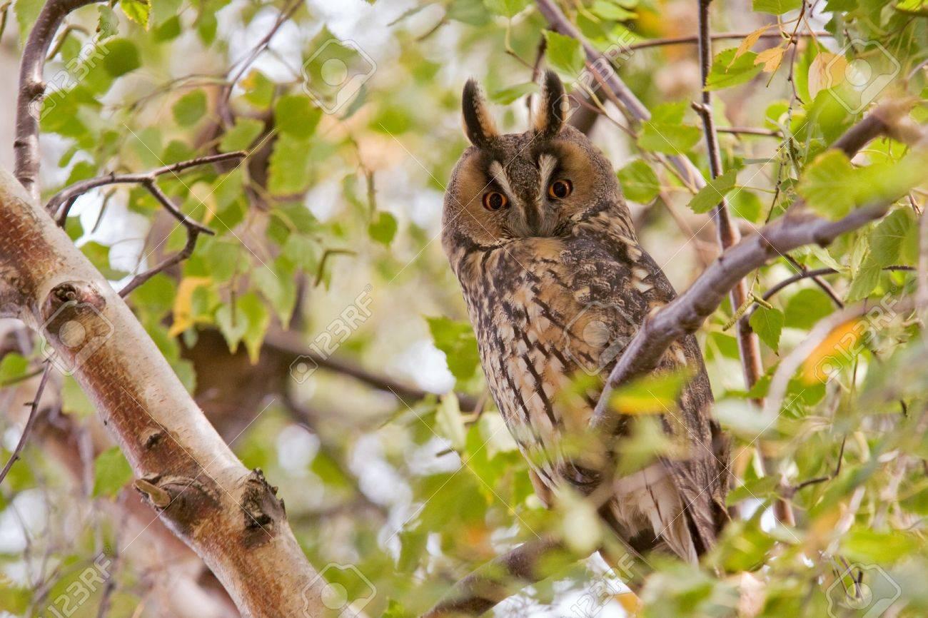 long eared owl - 21201935