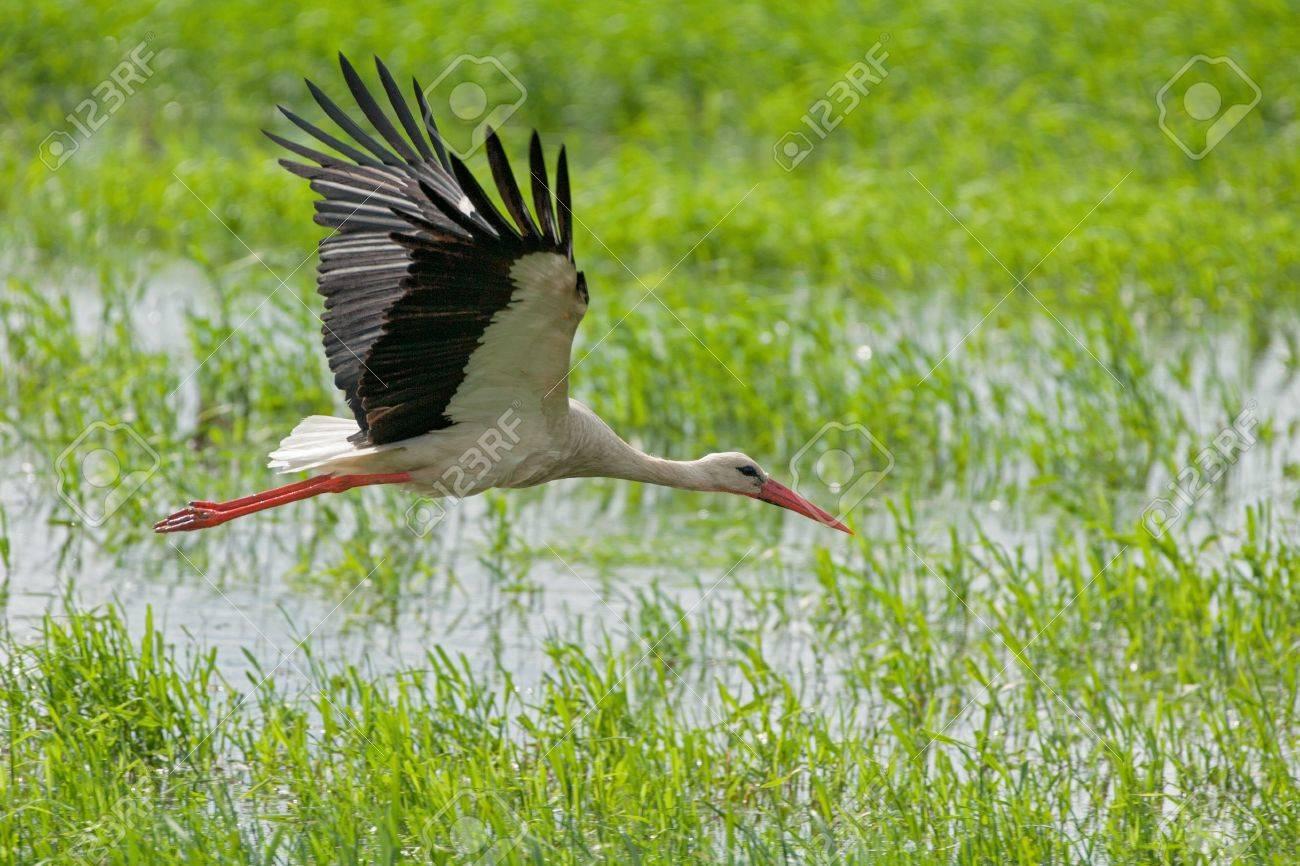 flying white stork - 21201941