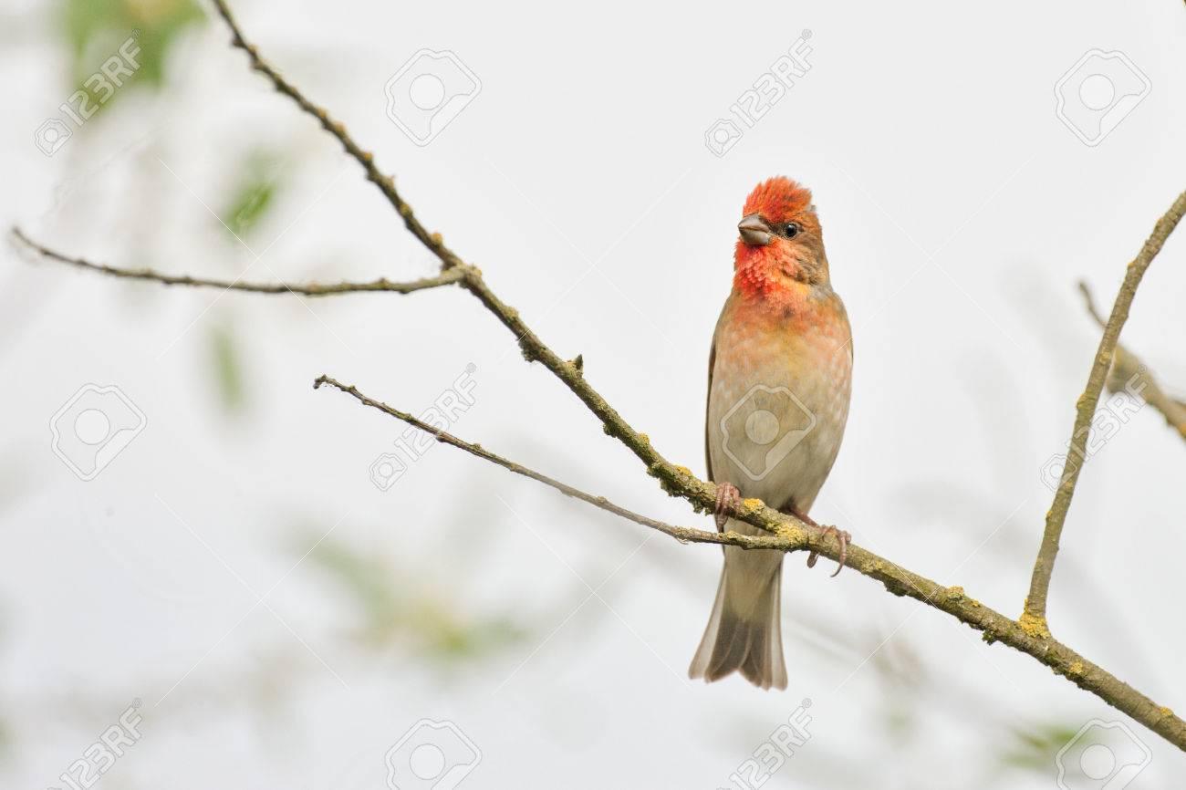 rosefinch - 24744208
