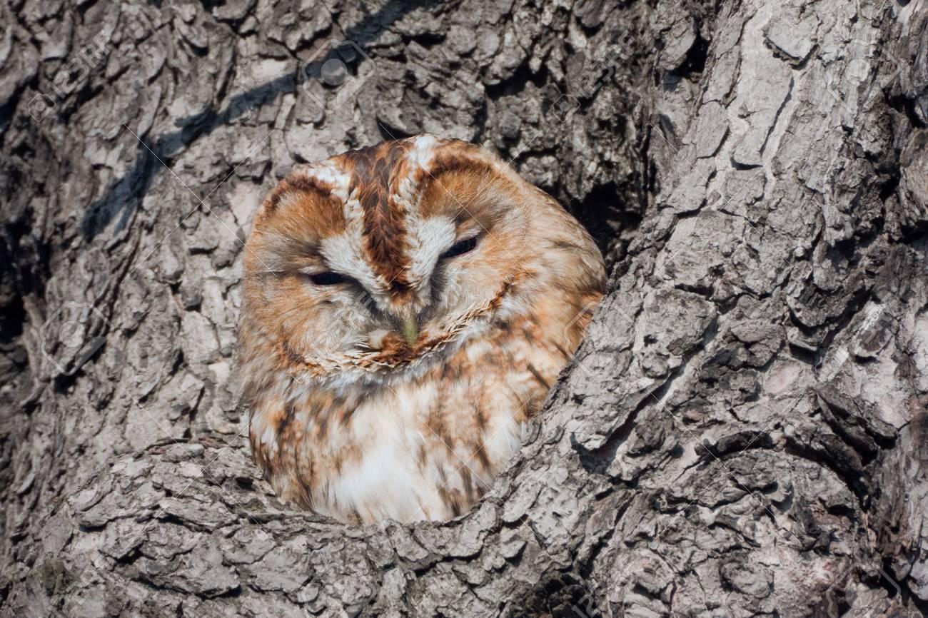 brown owl - 24805784