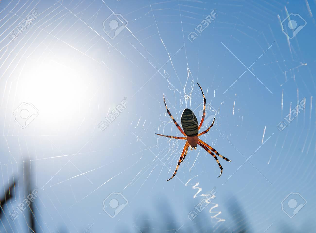 wasp spider Stock Photo - 27593964