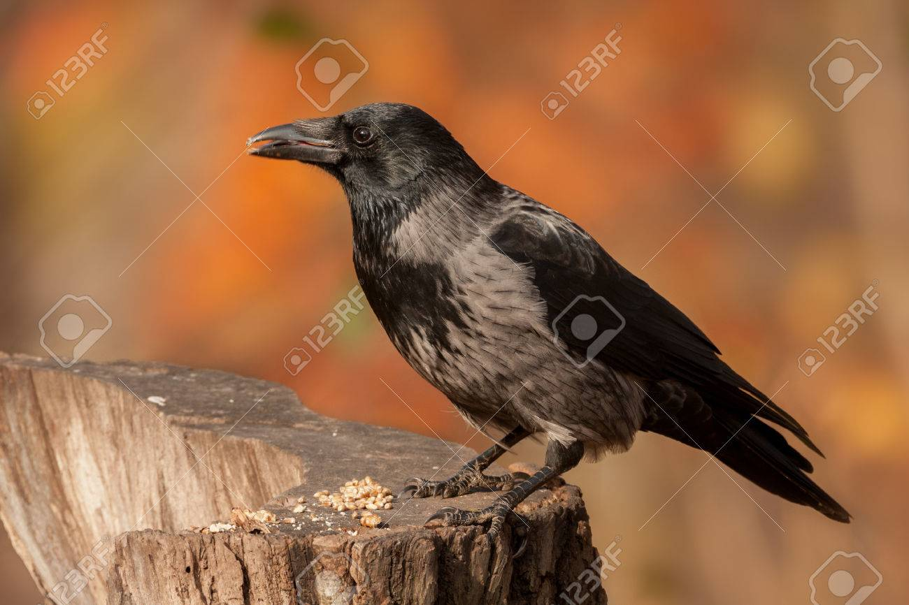 portrait of a crow - 34088251