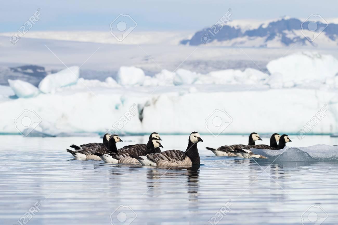 Barnacle geese swimming on Jokulsarlon glacier lagoon in Iceland - 95081826
