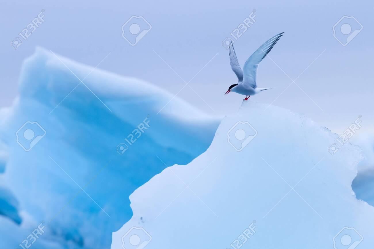 Arctic terns resting on iceberg at Jokulsarlon glacier lake in Iceland - 133091845