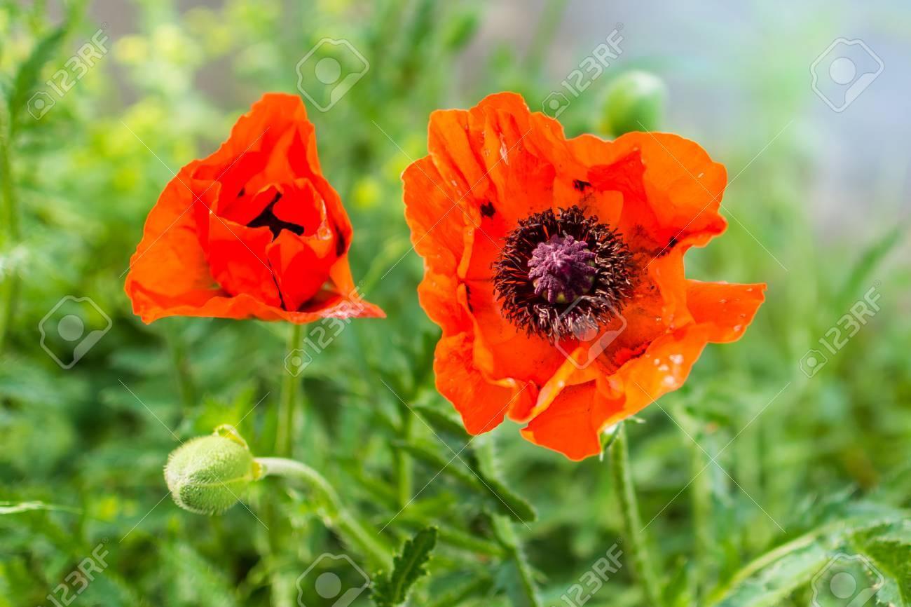 Lovely Red Poppy In Impressive Sunlight Real Emotion Stock Photo