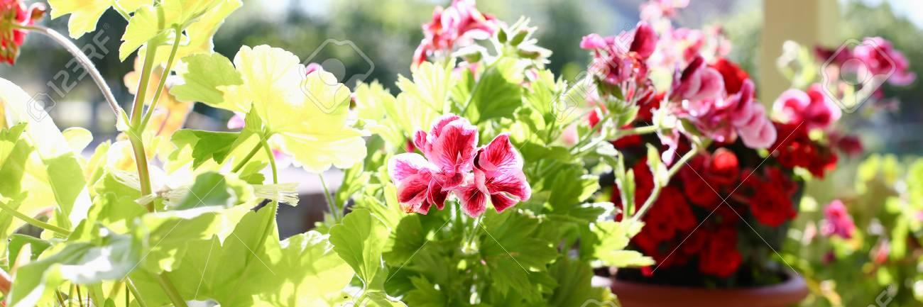 Blumen In Topfen Auf Dem Balkon Fensterbrett Fenster Fruhling