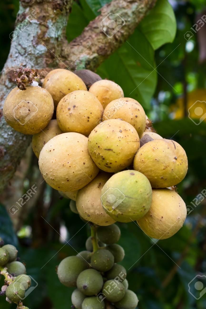 Close up fresh Longkong  langsat  on tree Stock Photo - 13438800