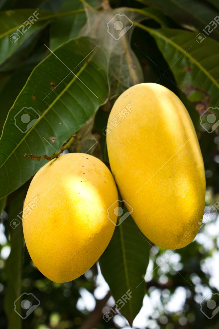 Mango Tree With Yellow Fruits Stock Photo, Picture And Royalty ...