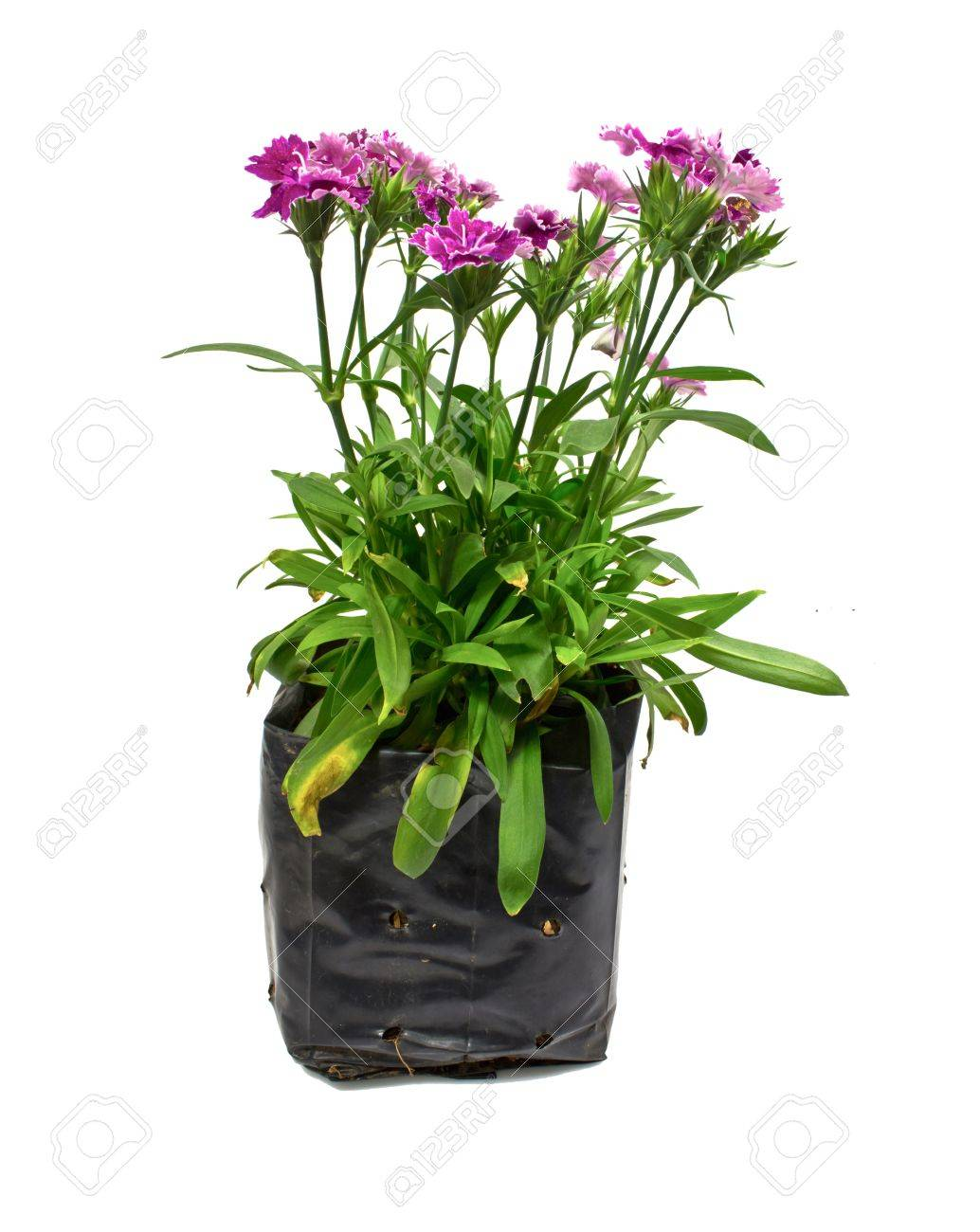 Nursery bags with dianthus flowers  isolated on white background Stock Photo - 17241006