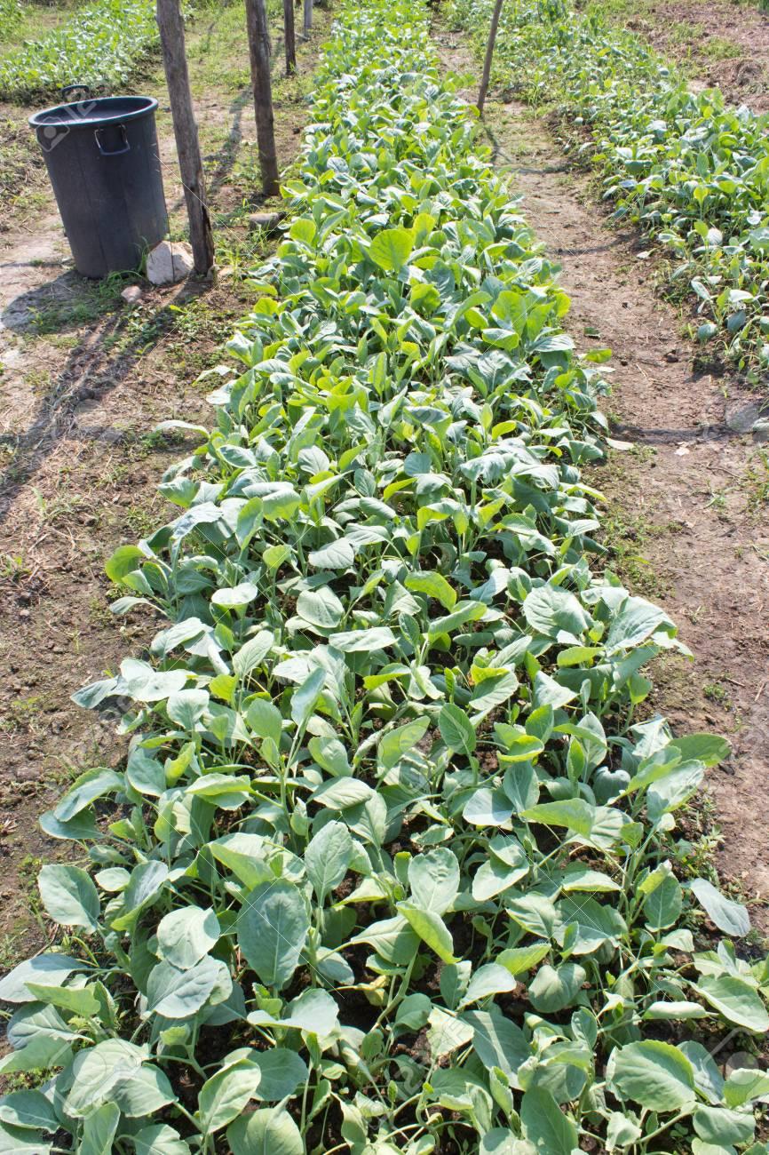 Convert Kale (Brassica alboglabra).It is safe for consumers. Stock Photo - 17800578