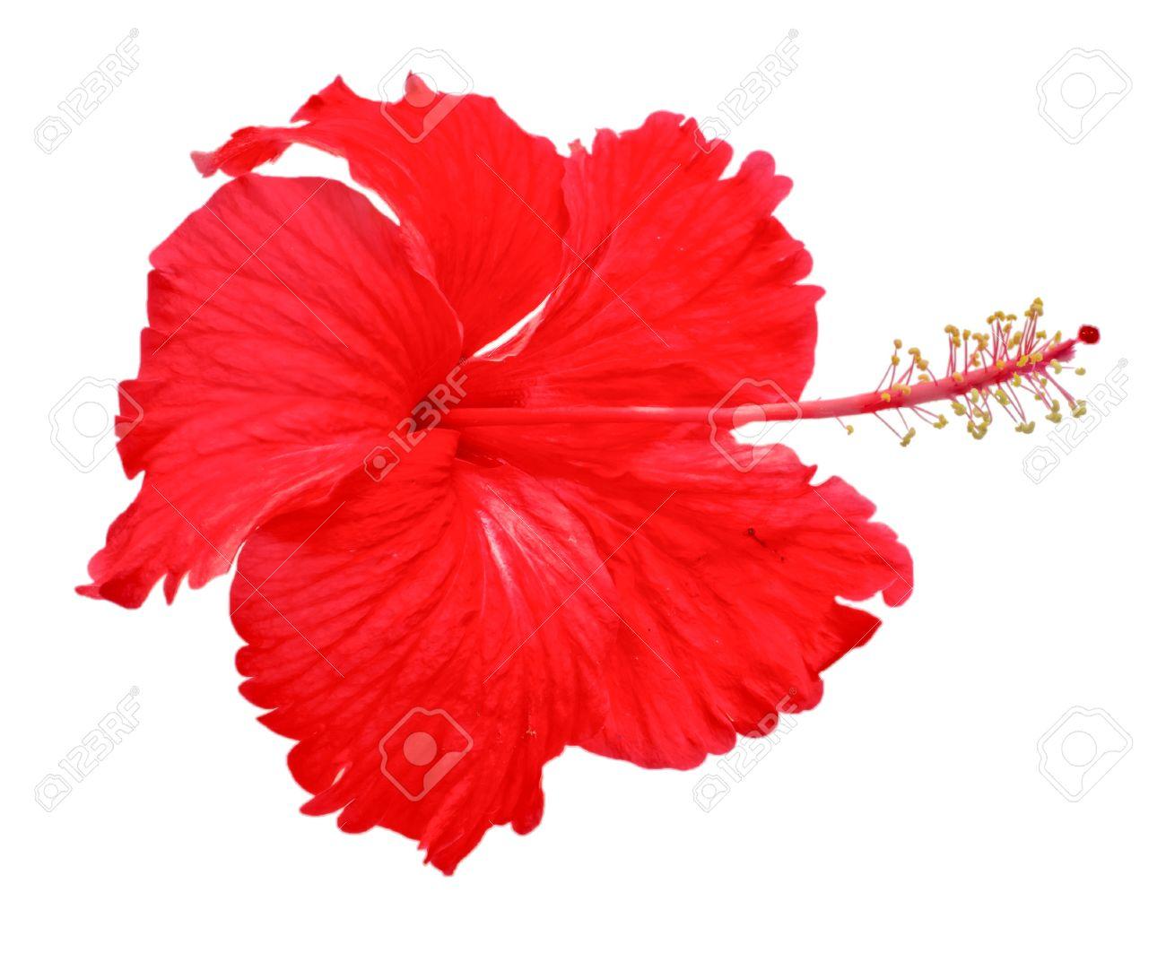 fleur d'hibiscus rouges sur un fond blanc banque d'images et