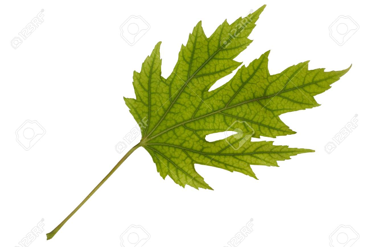Flying green maple leaf (isolated on white) Stock Photo - 3800064