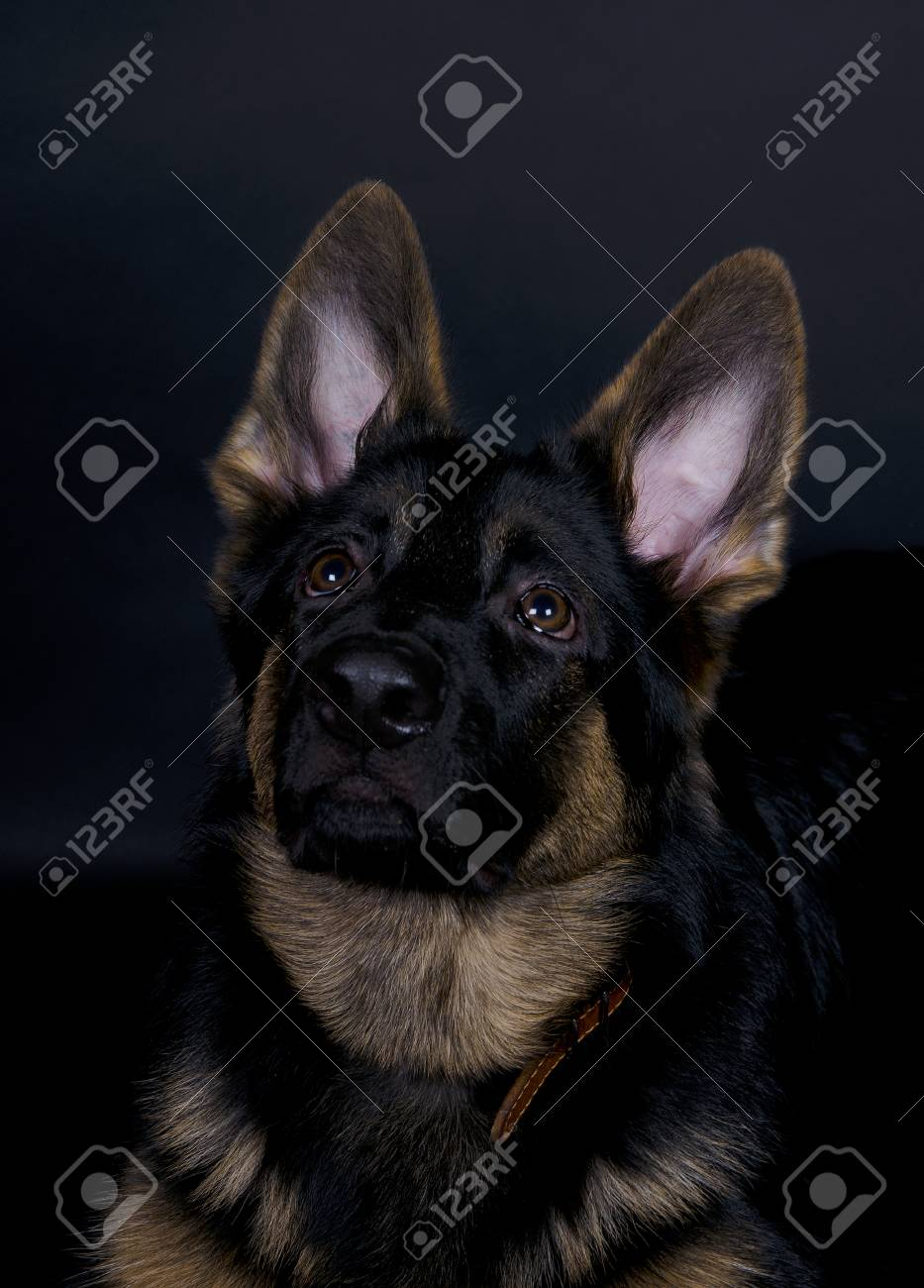 Cute German Shepherd Puppy On The Black Background With Focus