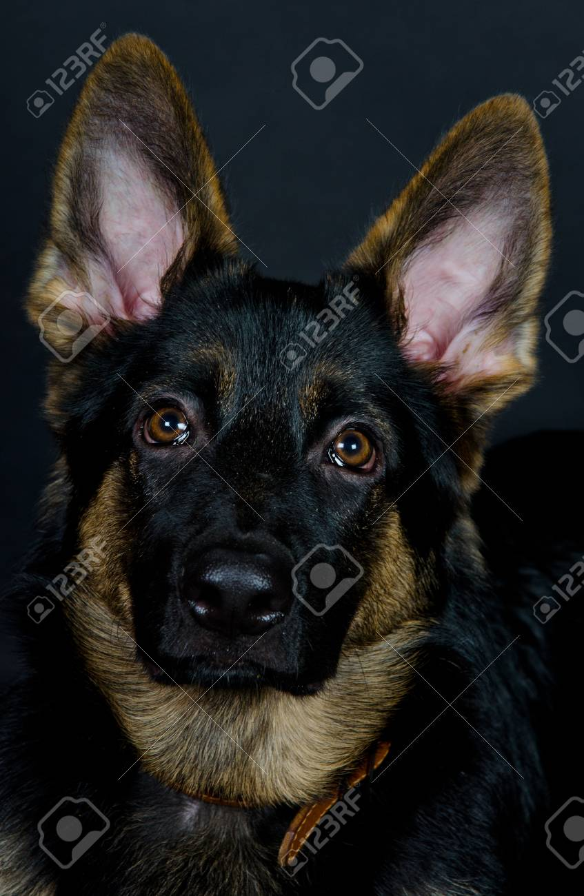 Beautiful German Shepherd Puppy On The Black Background Selective