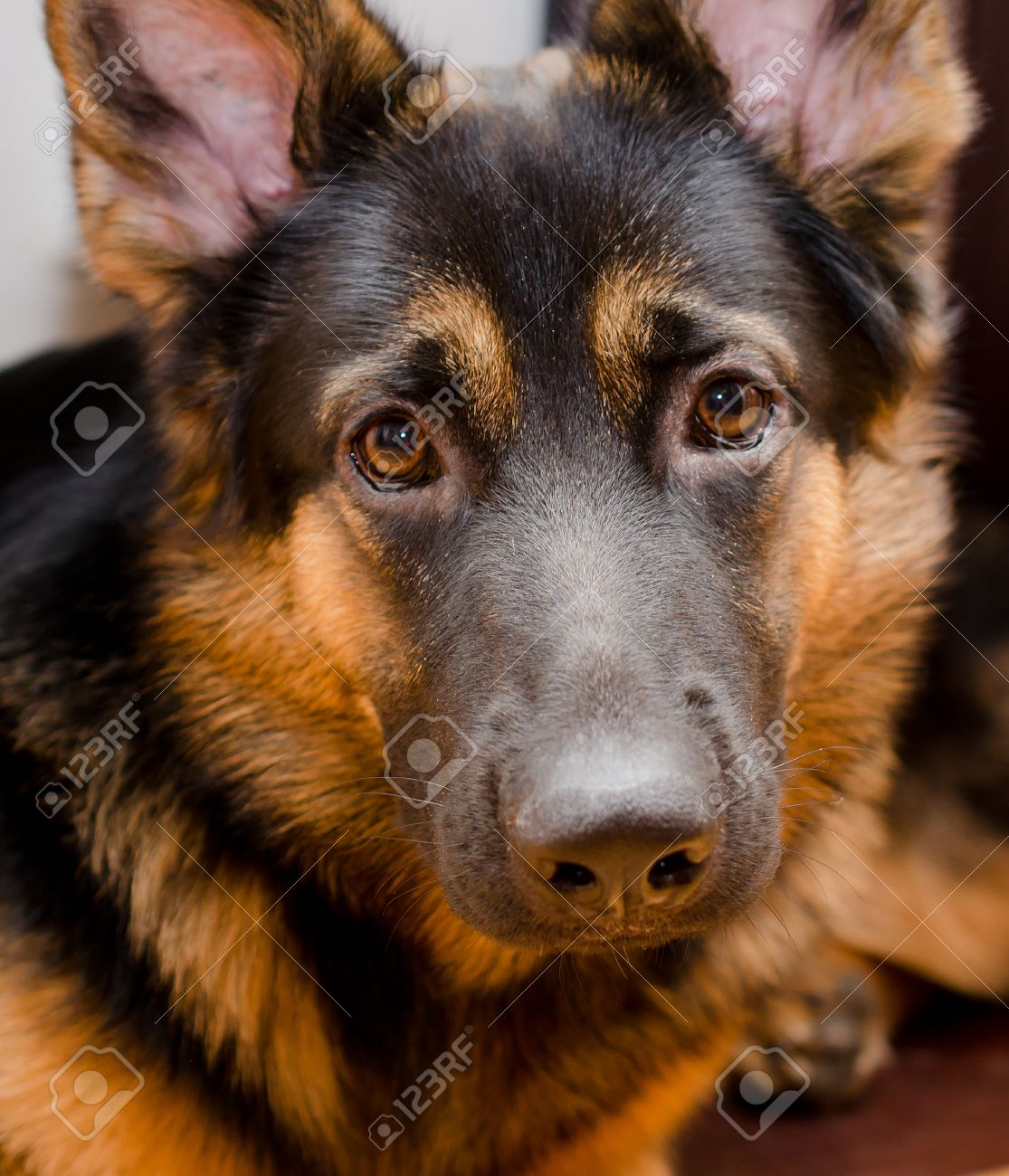 Portrait Of A Sad German Shepherd Puppy Selective Focus On The