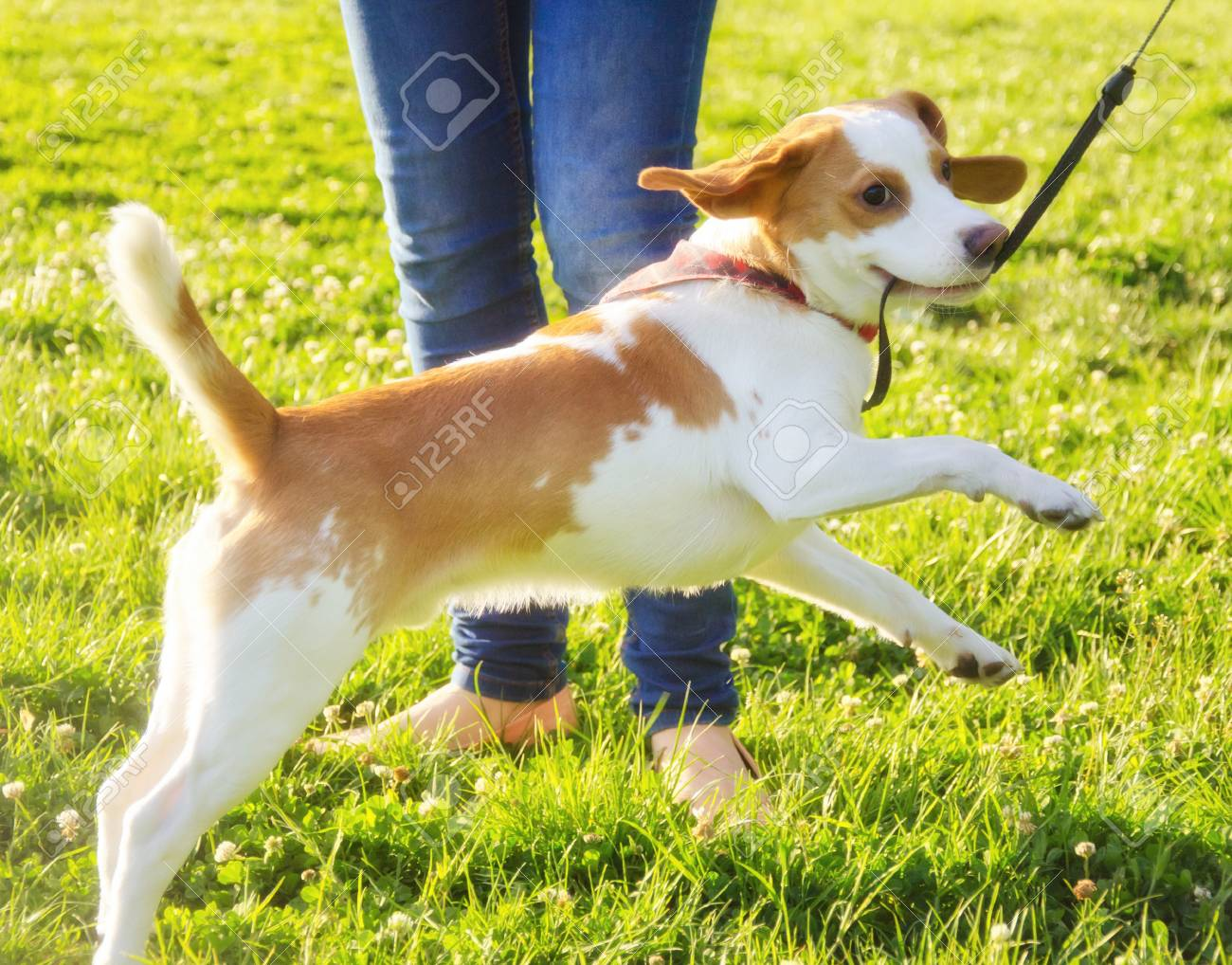 Funny Happy Cute Beagle Puppy Jumping Next To Its Owner Stock Photo Picture And Royalty Free Image Image 85892198