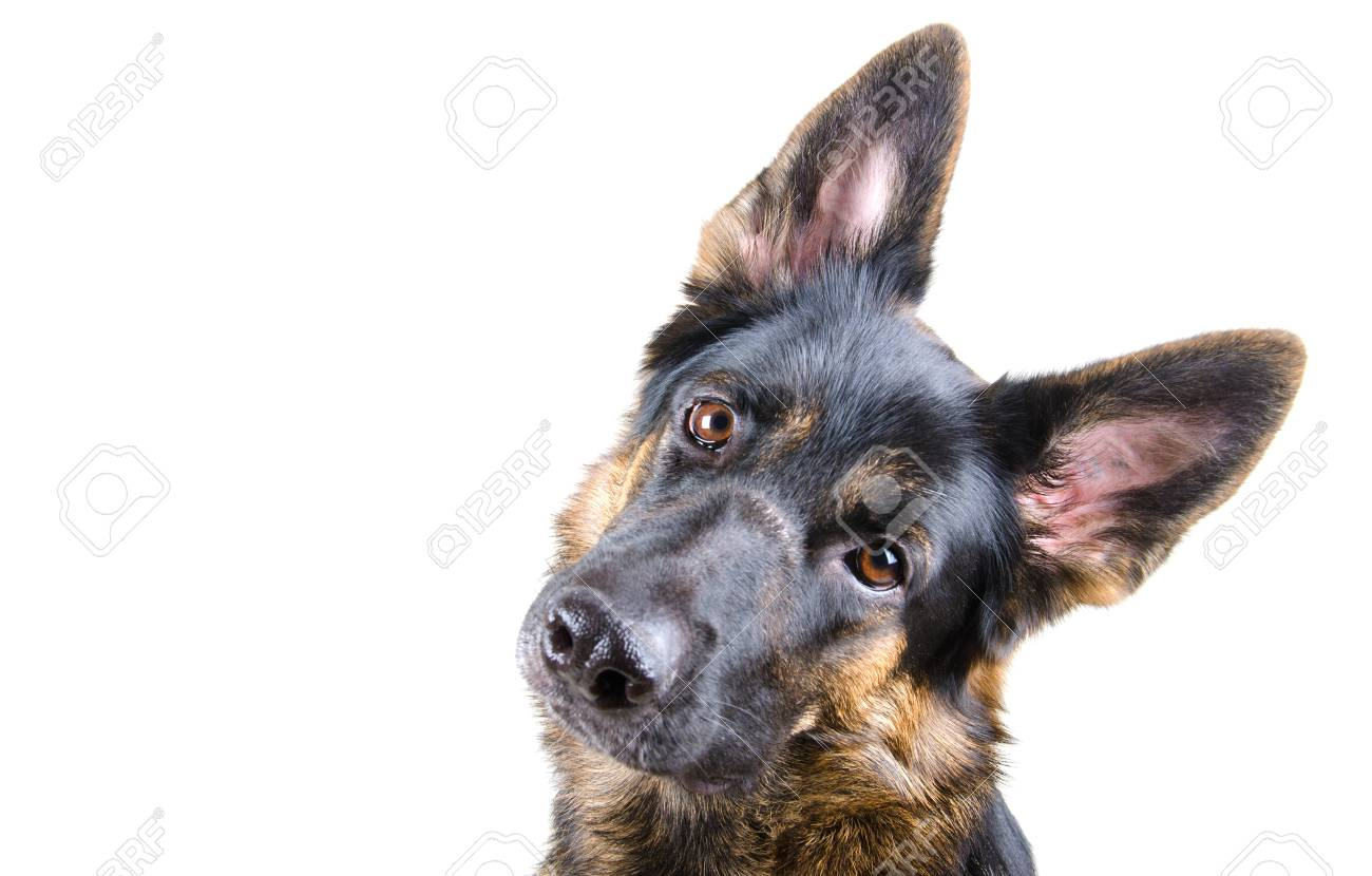 Cute German shepherd tilting its head (isolated on white, selective focus on the dog eyes), with copyspace on the left - 87336933