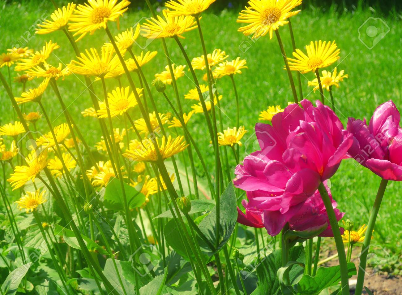 Bright pink flowers against the background of bright yellow flowers bright pink flowers against the background of bright yellow flowers blowing in the wind as mightylinksfo
