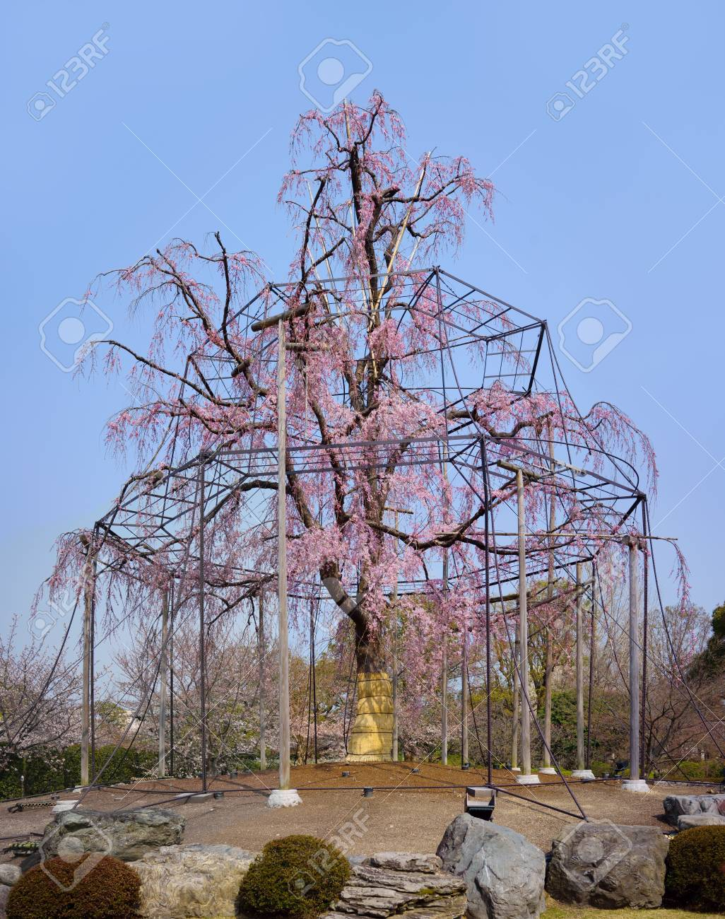 Weeping Willow Tree And Cherry Tree In Bloom Of Toji A Kyoto Stock Photo Picture And Royalty Free Image Image 104739540