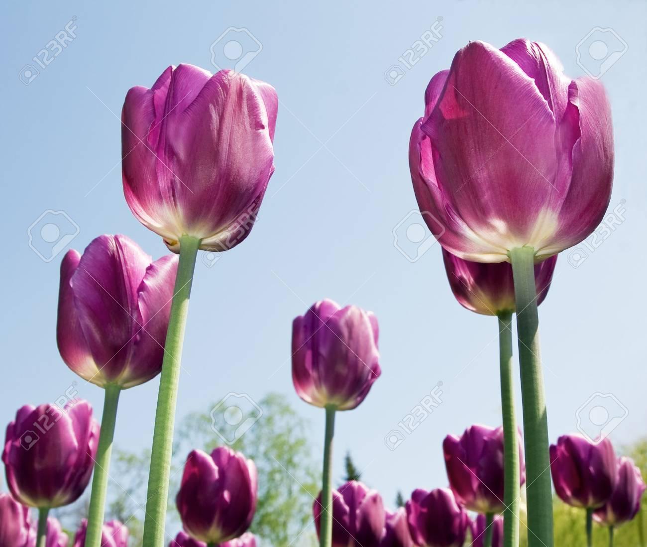 Purple flowers tulips close-up background Stock Photo - 7928514
