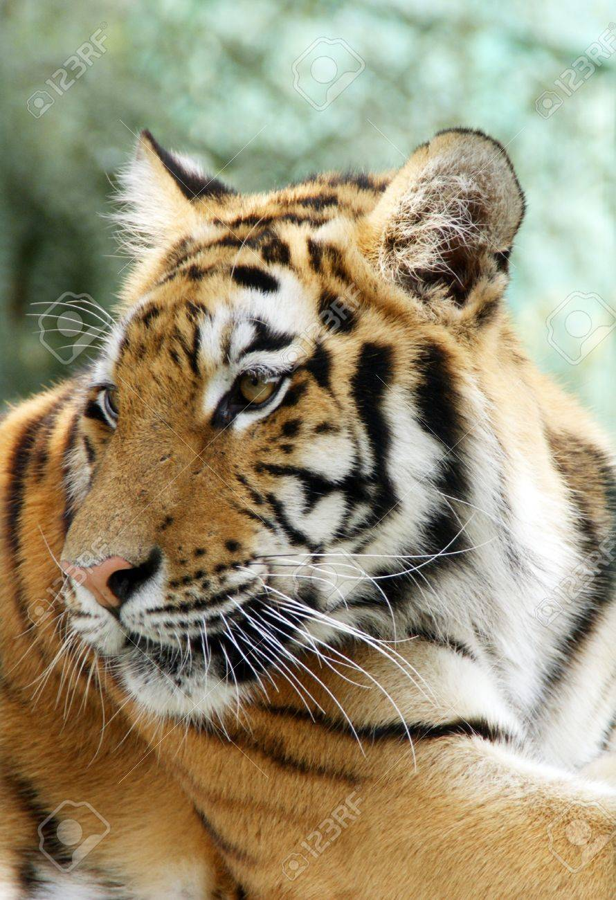 Ussuriisk tiger Stock Photo - 13019385