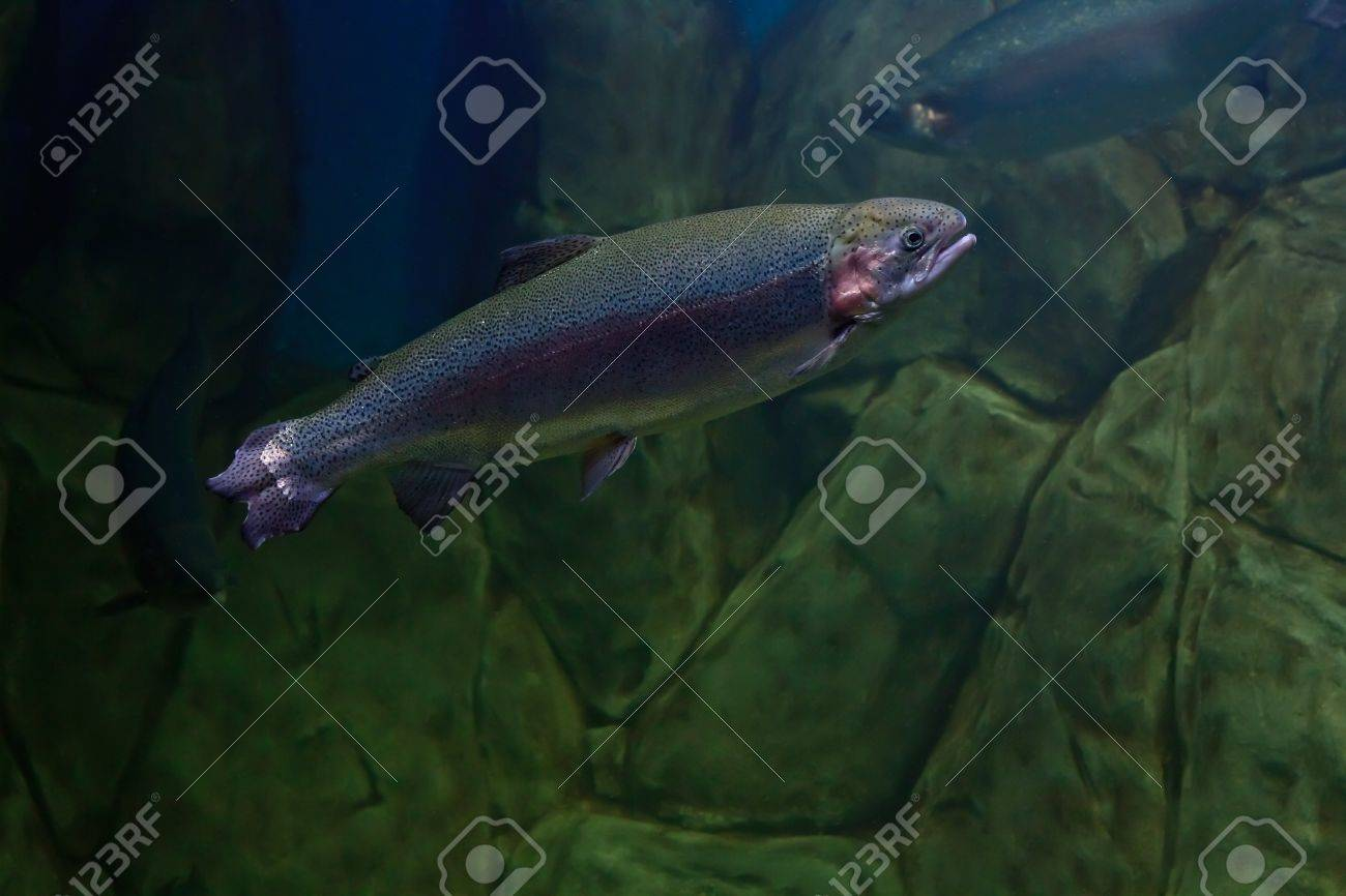 Rainbow trout or Salmon trout (Oncorhynchus mykiss) close-up underwater Stock Photo - 18848010