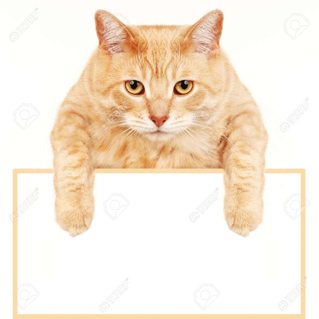 Cat with banner Stock Photo - 17315874