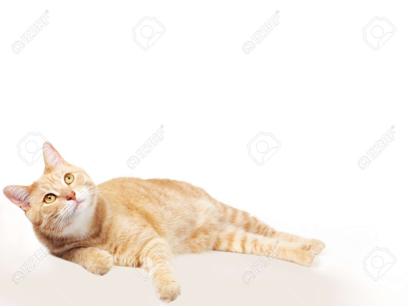 Pet cat Stock Photo - 17315871