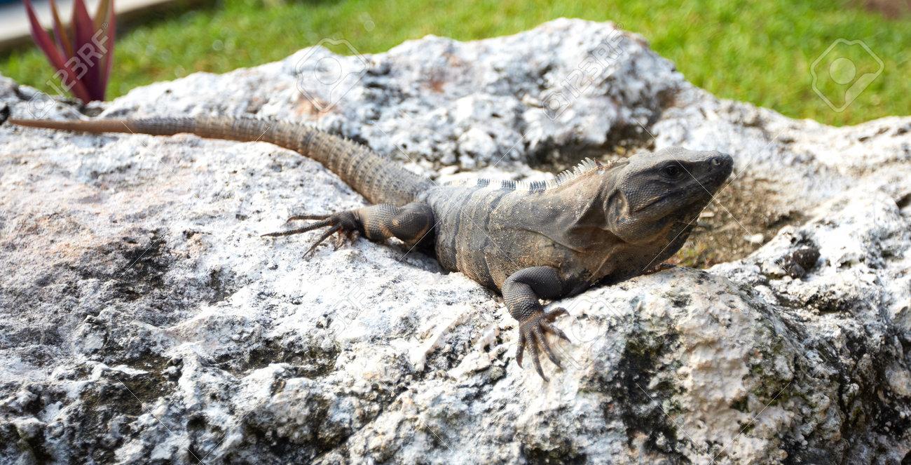 Lizard having a sunbath Stock Photo - 20072724