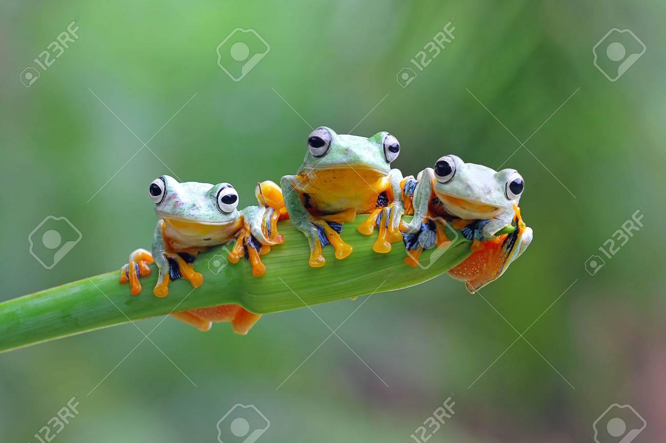 Tree frog, Javan tree frog - 83322171