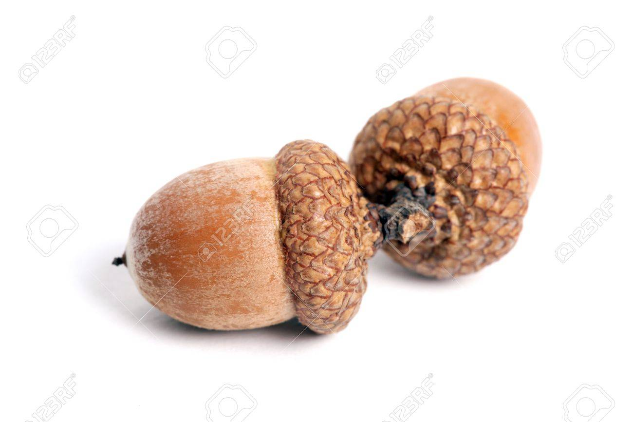 Two acorns on a white background Stock Photo - 8193222