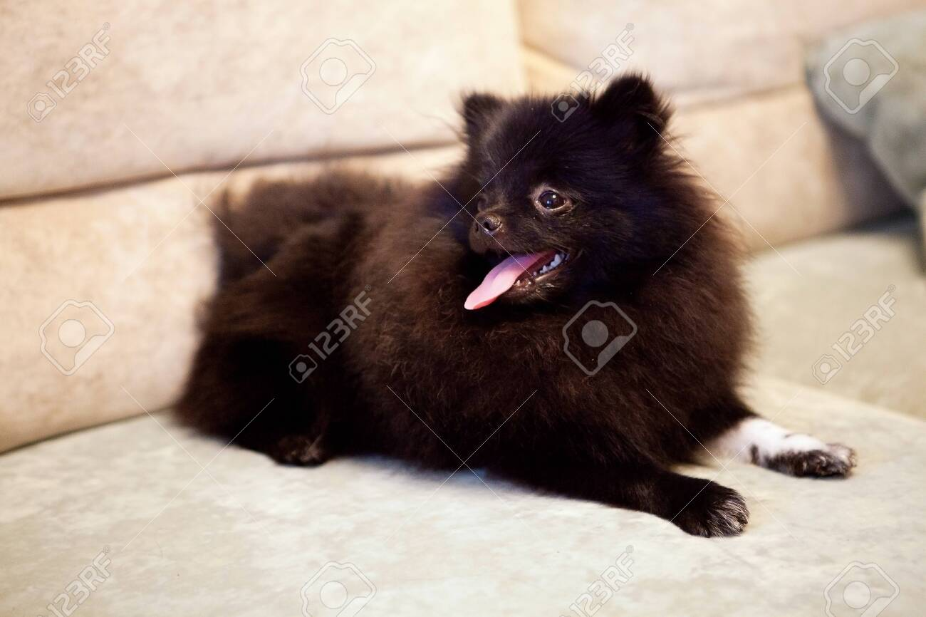 A Cute Black Pomeranian Puppy At Home Stock Photo Picture And Royalty Free Image Image 131413652