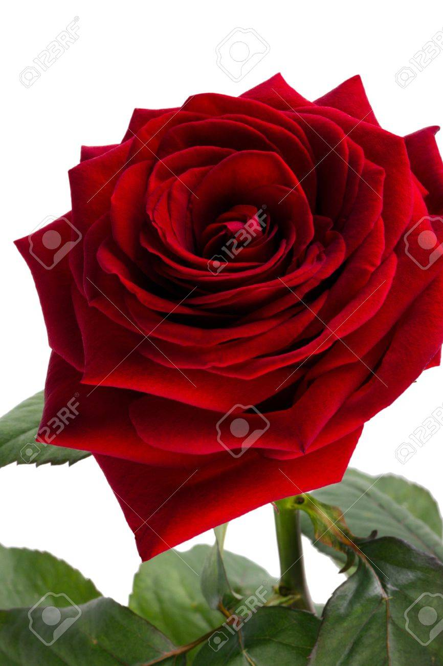 Velvet Rose Of Red Color On A White Background Stock Photo, Picture ...