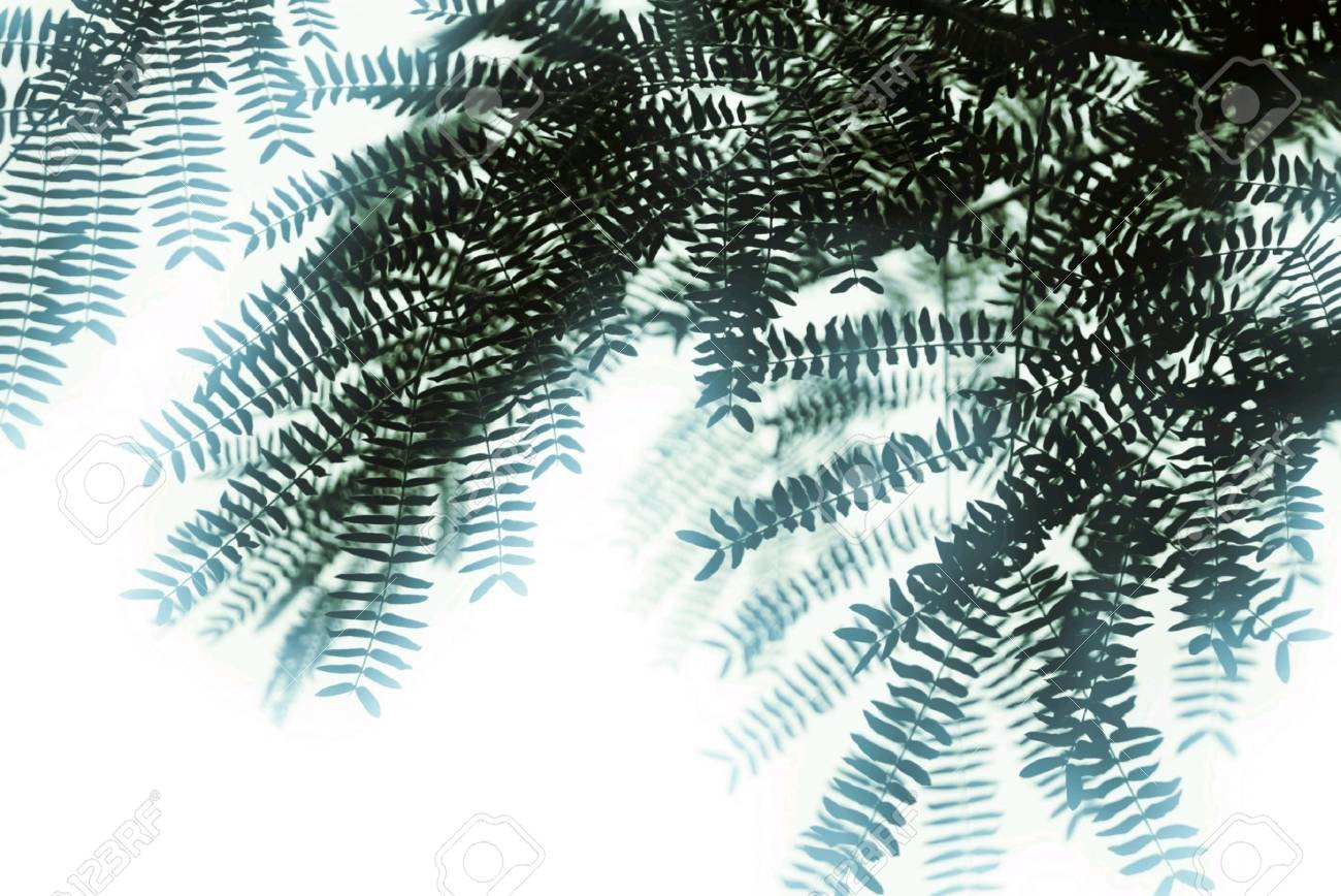 The Leaves Of The Acacia Tree Stock Photo Picture And Royalty Free
