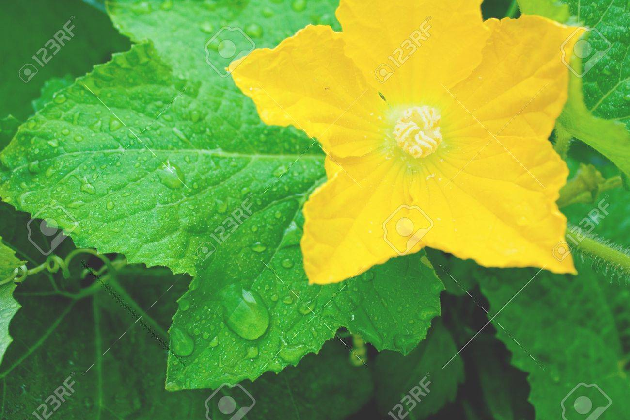 Yellow flower of thai vegetable stock photo yellow flower of thai vegetable mightylinksfo