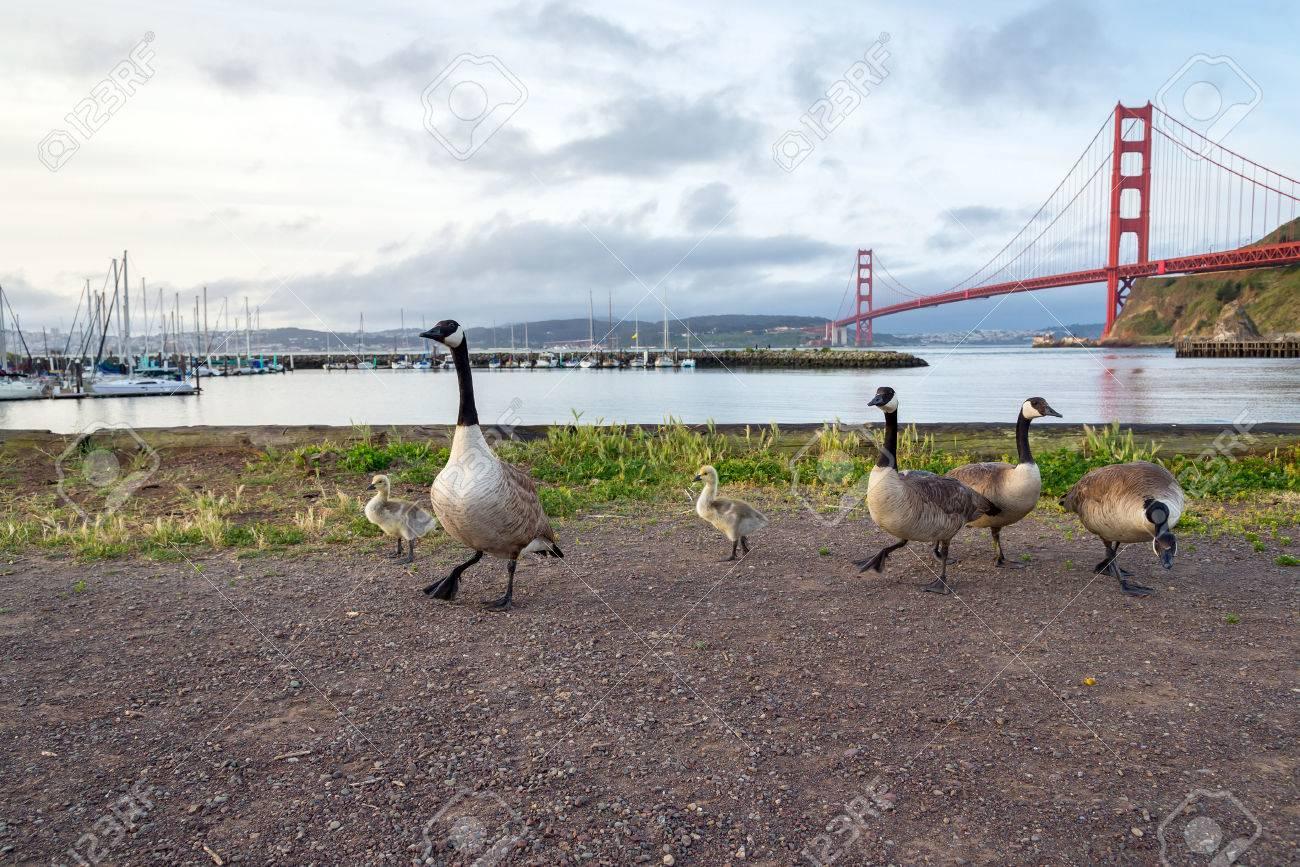 canada goose golden goose