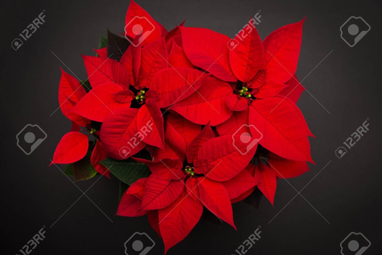 Red Christmas Flower.Red Christmas Flower Poinsettia On Black Background
