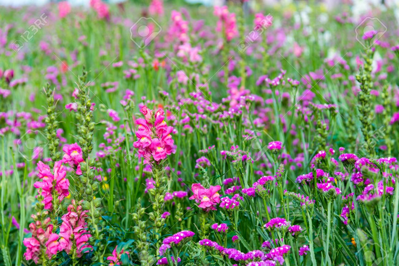 Field Of Blooming Pink Snapdragon Flower Stock Photo Picture And