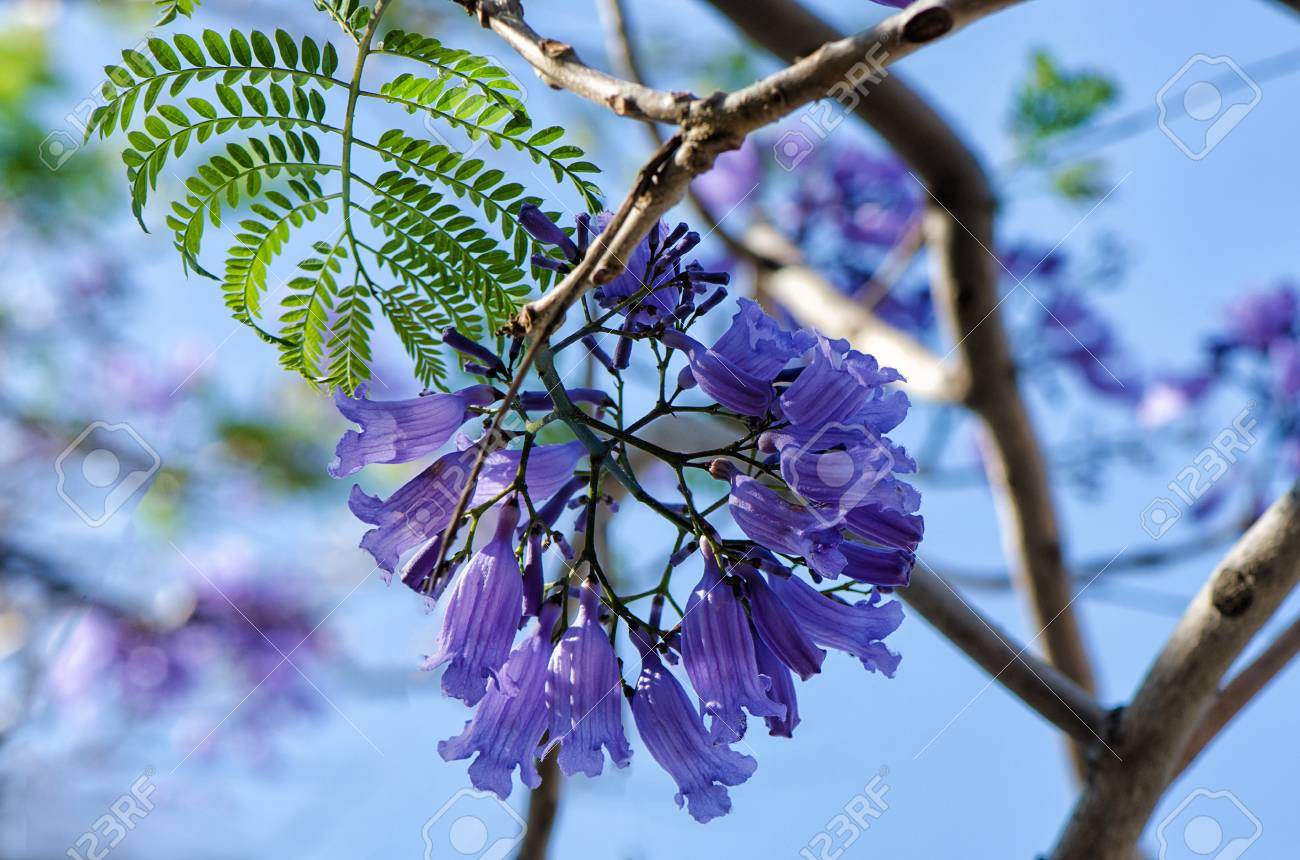 Macro Shot Of Wisteria Flower Buds Stock Photo Picture And