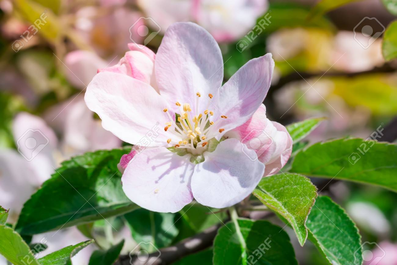 Flower and flower buds on apple spring stock photo picture and flower and flower buds on apple spring stock photo 54599418 mightylinksfo