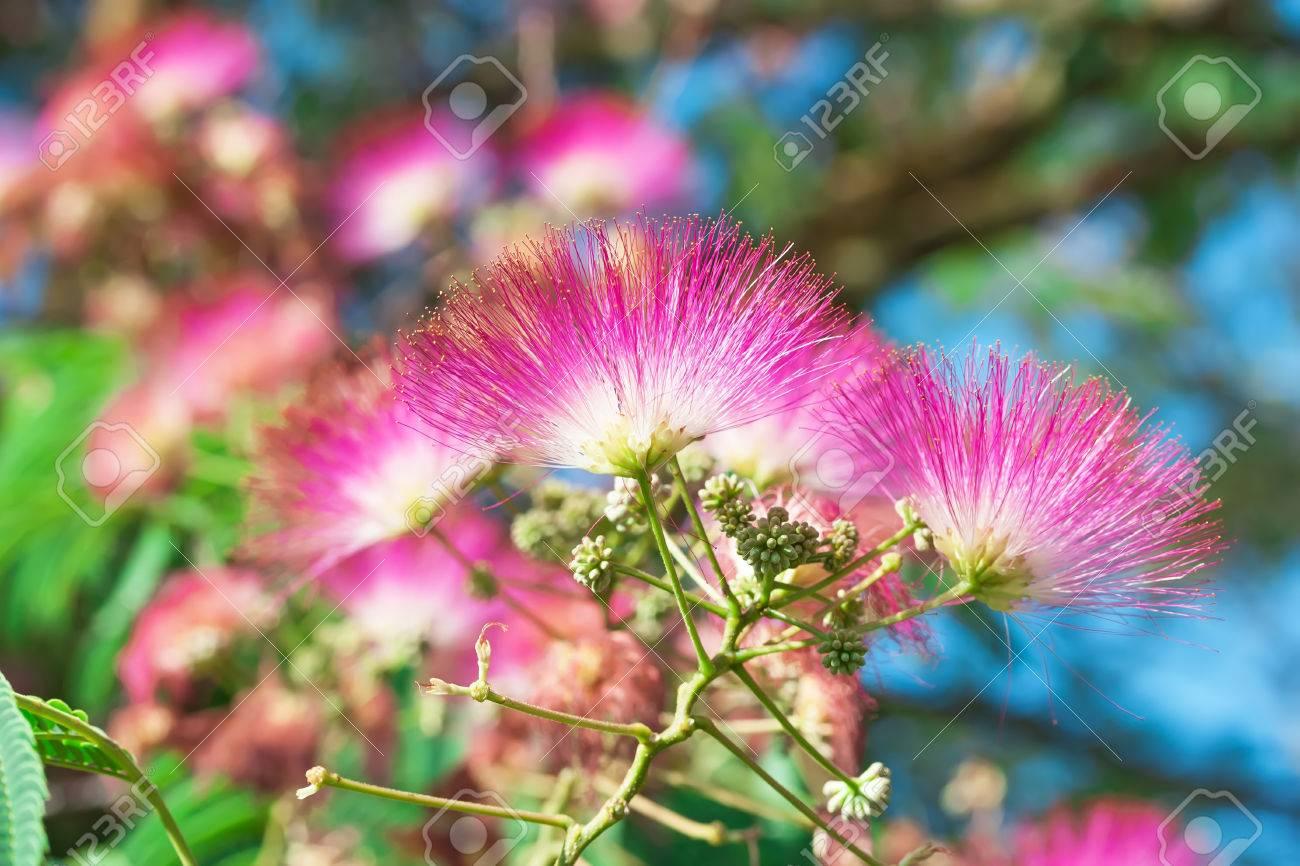 Beautiful Pink Flowers On The Tree Japanese Acacia Albizia