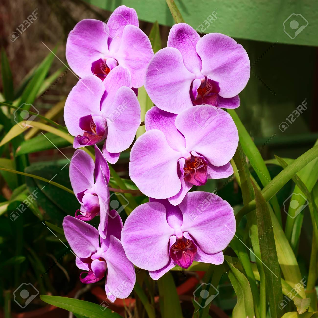 Streaked orchid flowers beautiful orchid flowers stock photo streaked orchid flowers beautiful orchid flowers stock photo 70995586 izmirmasajfo