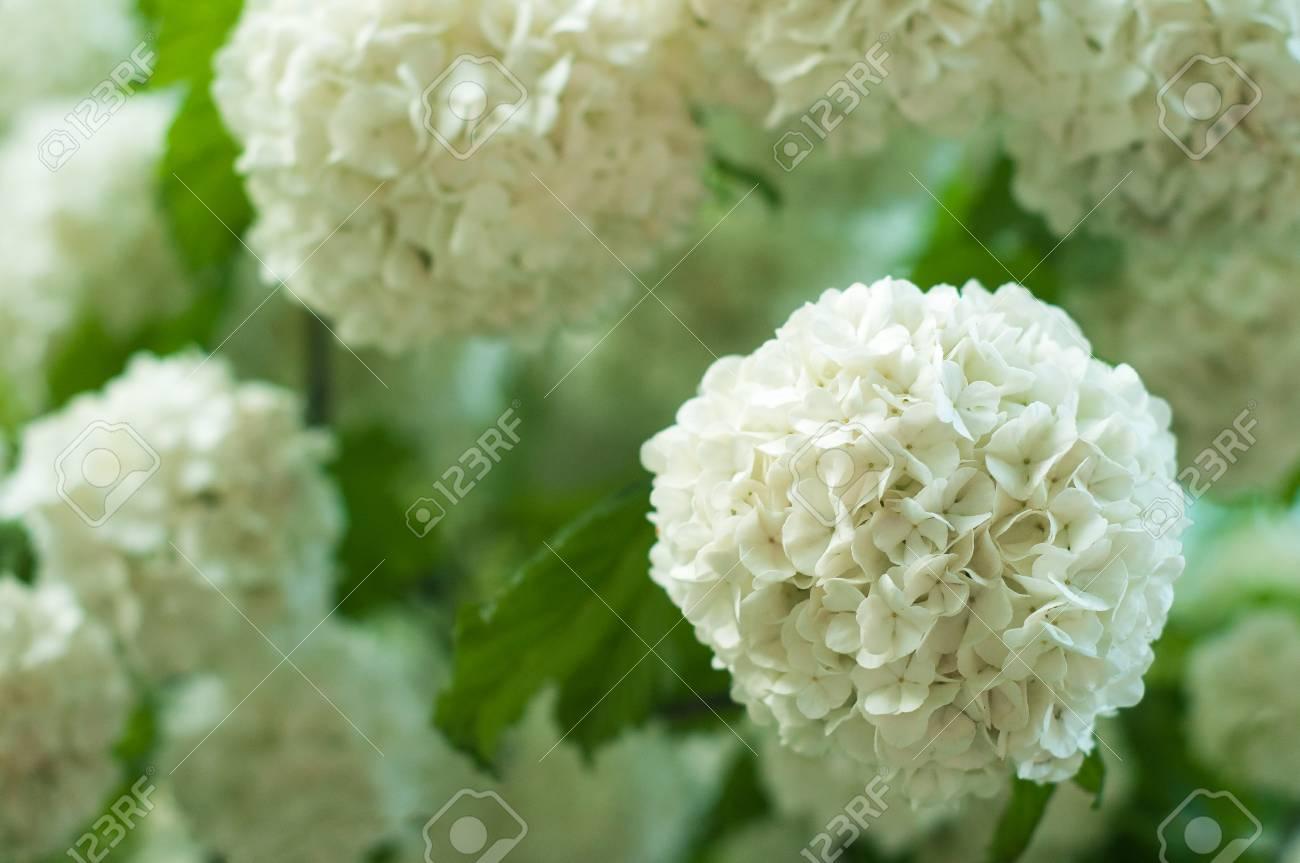 Chinese snowball viburnum flower heads are snowy blooming of chinese snowball viburnum flower heads are snowy blooming of beautiful white flowers in the summer izmirmasajfo