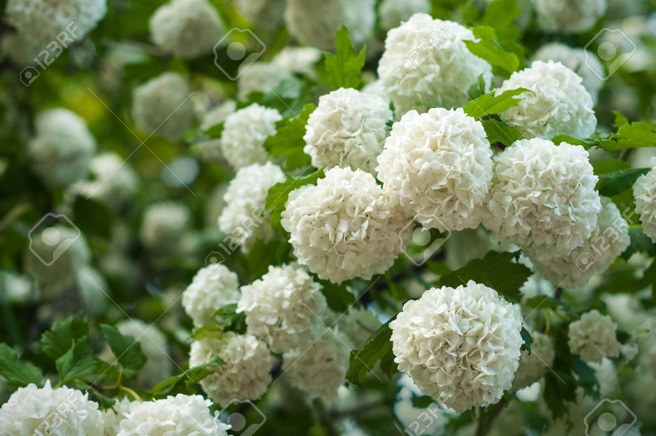 Chinese Snowball Viburnum Flower Heads Are Snowy Blooming Of