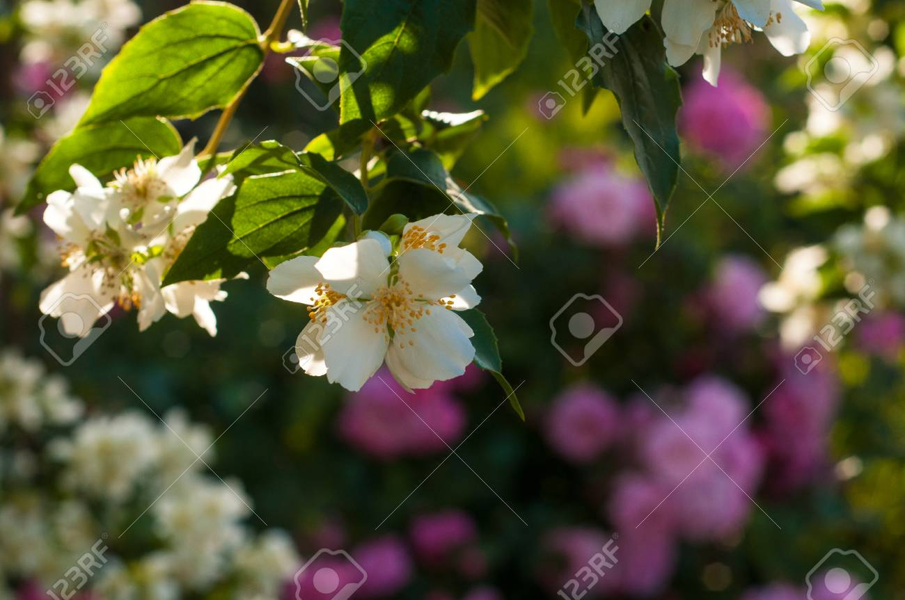 Bush of white jasmine and a pink roses a garden arrangement stock bush of white jasmine and a pink roses a garden arrangement of white and pink izmirmasajfo