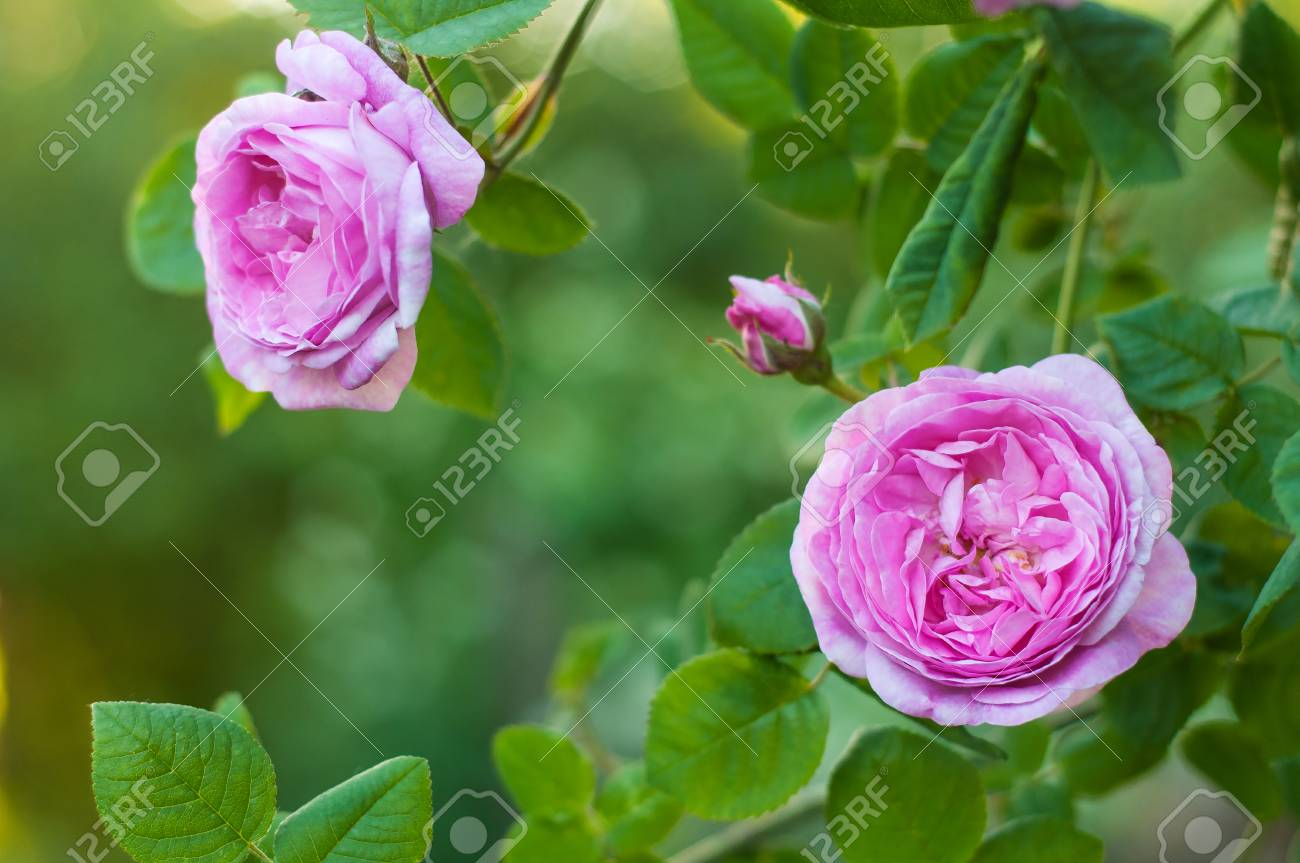 Pink Roses With Buds On A Background Of A Green Bush In The Garden
