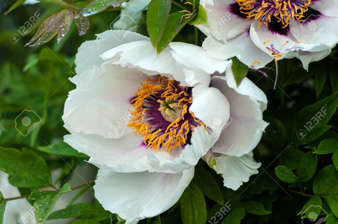 Blooming Tree Peony After Rain. Big White Peonies With Drops ...