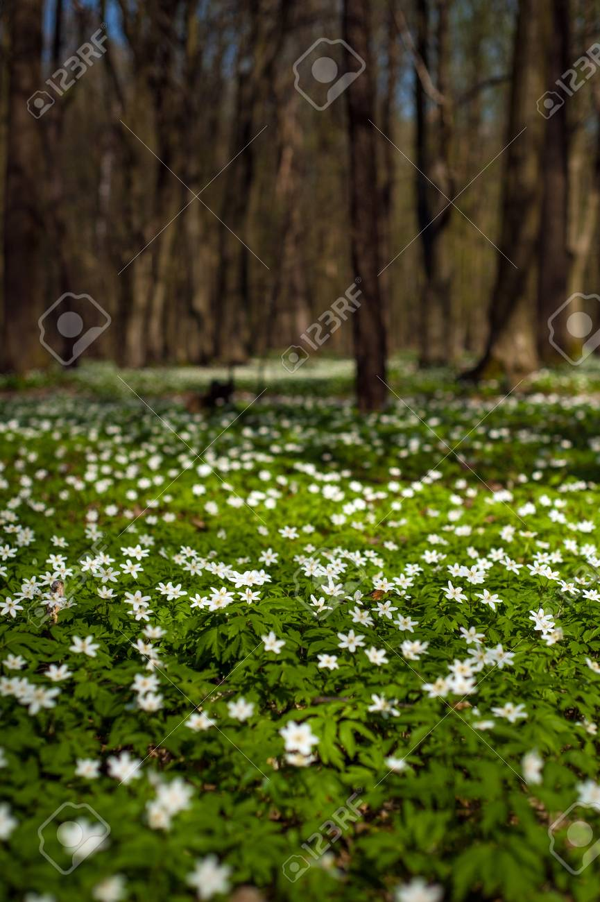 Anemone Nemorosa Flower In The Forest In The Sunny Day Wood Stock