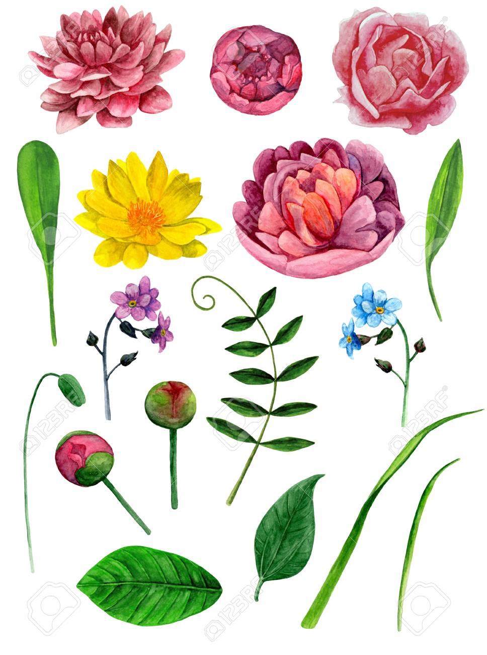 watercolor peonies flowers clip art botanical clipart stock photo rh 123rf com pony clip art pony clip art silhouette