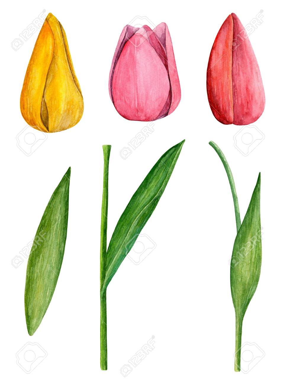 Tulips Clip Art Watercolor Spring Flowers Stock Photo Picture And